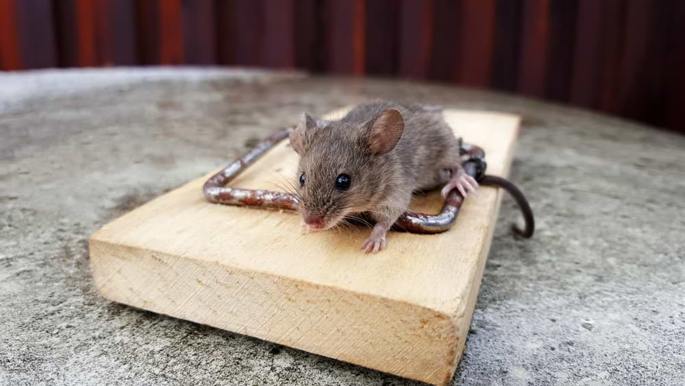 How to solve and prevent mice in your home | Paragon Pest Management